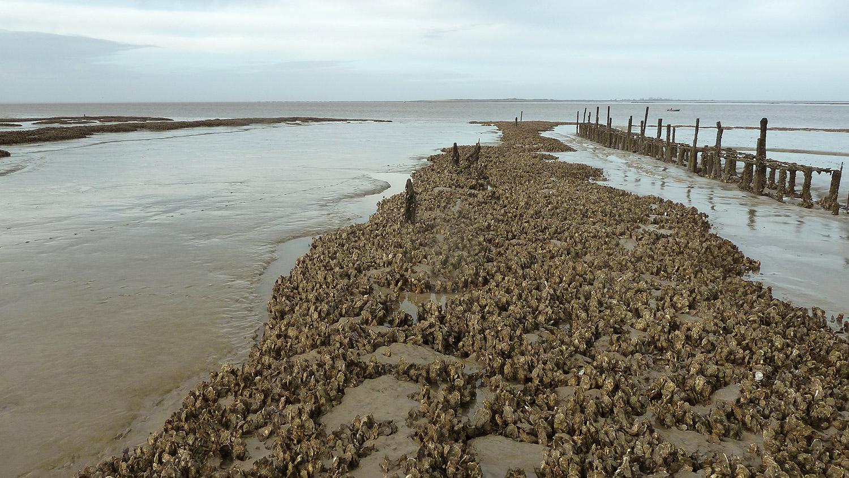 Développement de crassats d'huîtres en baie de l'Aiguillon - Programme LIFE baie de l