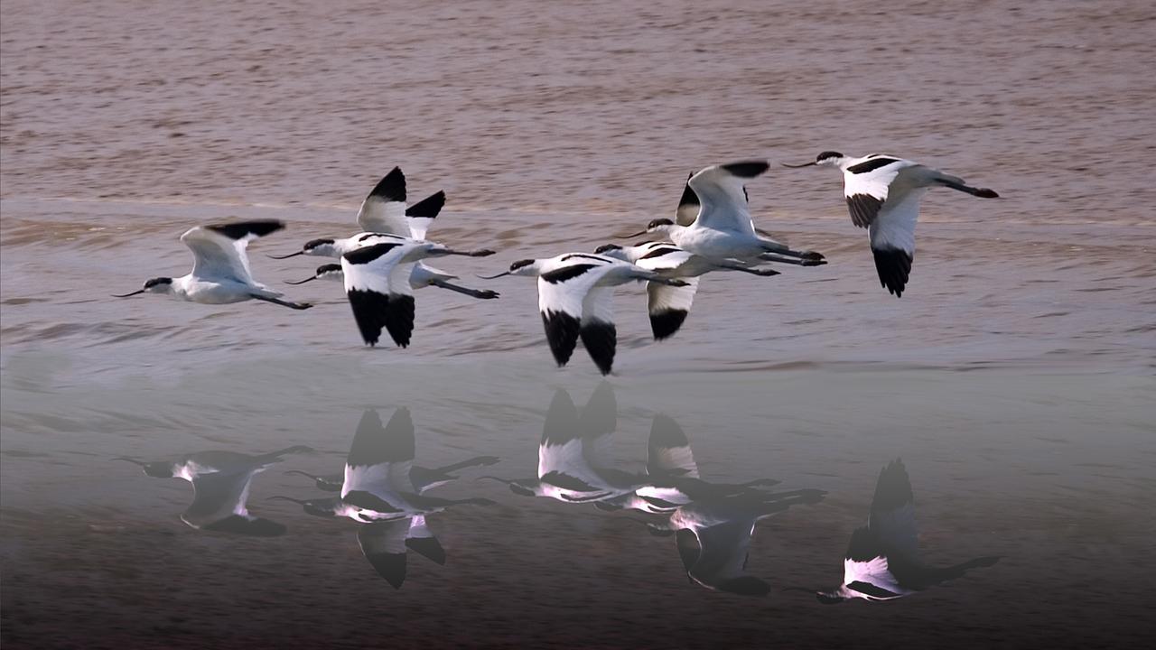 Vol d'avocette au dessus de la vasière - Life baie de l'Aiguillon