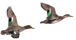 Canards colverts en vol - Life baie de l'Aiguillon